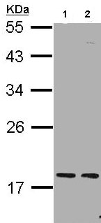 Western blot - PCNP antibody (ab97909)