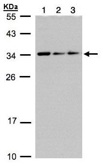 Western blot - CIP29 antibody (ab97920)