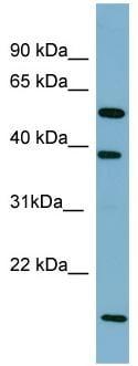 Western blot - SLC10A1 antibody (ab97947)