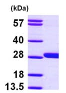 SDS-PAGE - GSTM4 protein (ab97949)