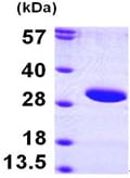 SDS-PAGE - SIRT3 protein (ab97951)
