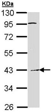Western blot - Haptoglobin antibody (ab97969)