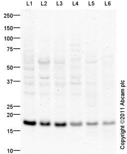 Western blot - CD9 antibody (ab97999)
