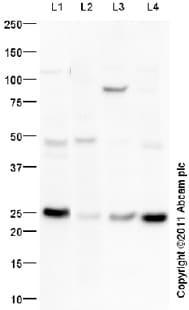 Western blot - FGF 23 antibody (ab98000)