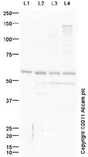 Western blot - FAAH1 antibody (ab98065)