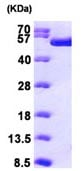 SDS-PAGE - TIP49A protein (ab98076)