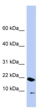Western blot - PIN4 antibody (ab98130)