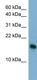 Western blot - BATF3 antibody (ab98141)