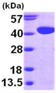 SDS-PAGE - Mutarotase protein (ab98150)