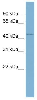 Western blot - WDR8 antibody (ab98154)