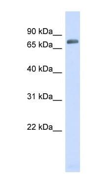 Western blot - TRIM41 antibody (ab98170)