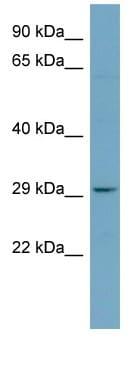 Western blot - PAFAH1B2 antibody (ab98271)