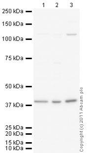 Western blot - PDX1 antibody (ab98298)
