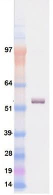 Western blot - HNF6 protein (ab98300)