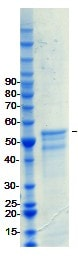 SDS-PAGE - FOXA1 protein (ab98301)