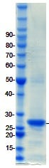 SDS-PAGE - PAX6 protein (ab98302)