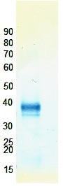 Western blot - Rex1 protein (ab98304)