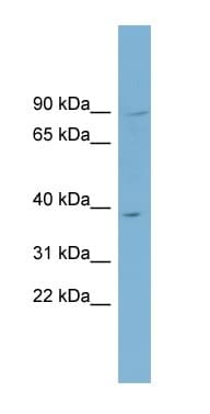 Western blot - C16orf48 antibody (ab98323)