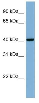 Western blot - PLEKHA9 antibody (ab98846)