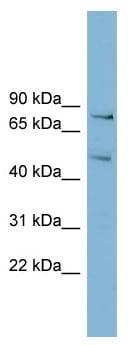 Western blot - BOP1 antibody (ab98876)