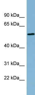 Western blot - MIER2 antibody (ab99019)