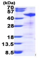 SDS-PAGE - RRM2 protein (ab99137)