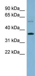 Western blot - PLSCR3 antibody (ab99169)