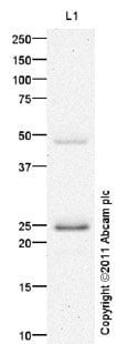 Western blot - Claudin 6 antibody (ab99226)