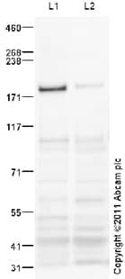Western blot - Peg3 antibody (ab99252)