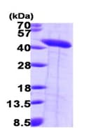 SDS-PAGE - Septin 2 protein (ab99296)
