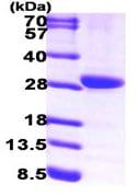 SDS-PAGE - Prostaglandin dehydrogenase 1 protein (ab99298)