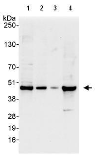 Western blot - TWISTNB antibody (ab99305)
