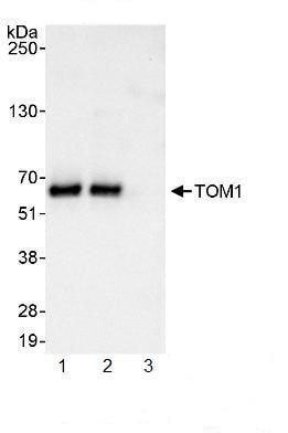 Immunoprecipitation - TOM1 antibody (ab99355)