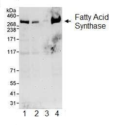 Western blot - Fatty Acid Synthase antibody (ab99359)