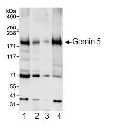 Western blot - Gemin 5 antibody (ab99360)