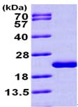 SDS-PAGE - MTH1 protein (ab99390)