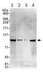Western blot - MSK1 antibody (ab99412)