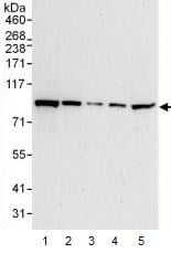 Western blot - STAT1 antibody (ab99415)