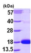 SDS-PAGE - CDA protein (ab99441)