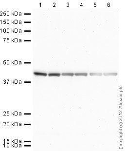 Western blot - Rat monoclonal [H139-52.1]  Secondary Antibody to Mouse kappa - light chain (AP) (ab99631)
