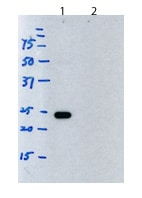 Western blot - Rat monoclonal [H139-52.1]  Secondary Antibody to Mouse kappa - light chain (HRP) (ab99632)