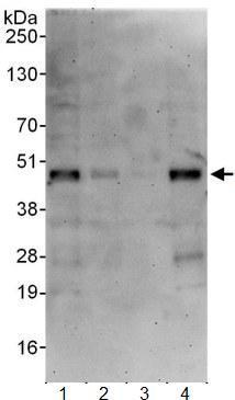 Western blot - ATXN7L3 antibody (ab99947)