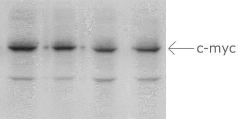 Western blot - Anti-Myc tag antibody (ab172)