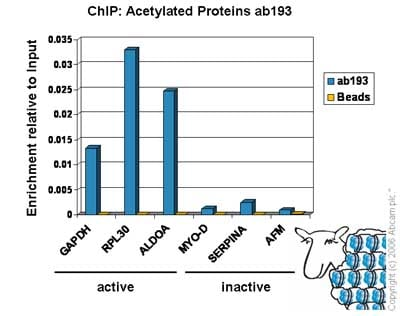 ChIP - Anti-Acetylated Proteins antibody - ChIP Grade (ab193)
