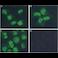 Immunocytochemistry/ Immunofluorescence - Anti-Mre11 antibody [12D7] - BSA and Azide free (ab214)