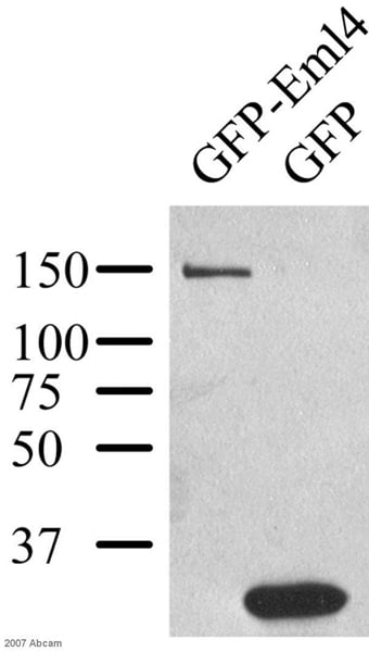 Western blot - Anti-GFP antibody - ChIP Grade (ab290)