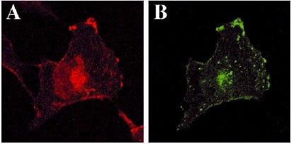 Immunocytochemistry - Anti-GFP antibody (ab290)