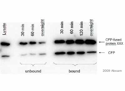 Immunoprecipitation - Anti-GFP antibody [LGB-1] (ab291)