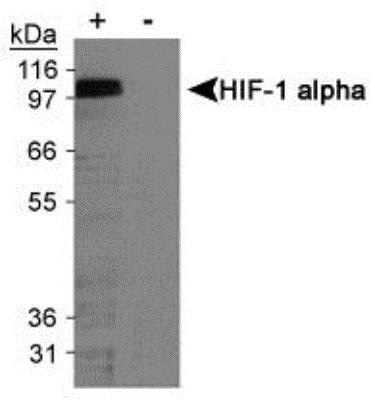 Western blot - Anti-HIF-1-alpha [H1alpha67] antibody (ab463)