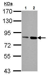 Western blot - Anti-Nuclear Matrix Protein p84 antibody [5E10] (ab487)